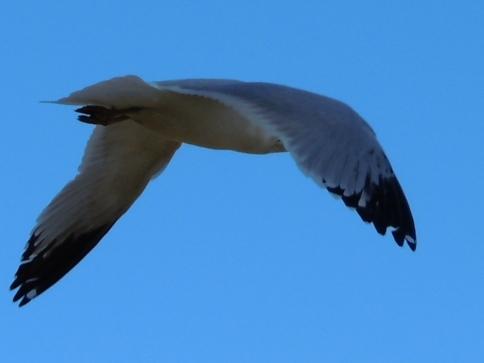 gull at shelley