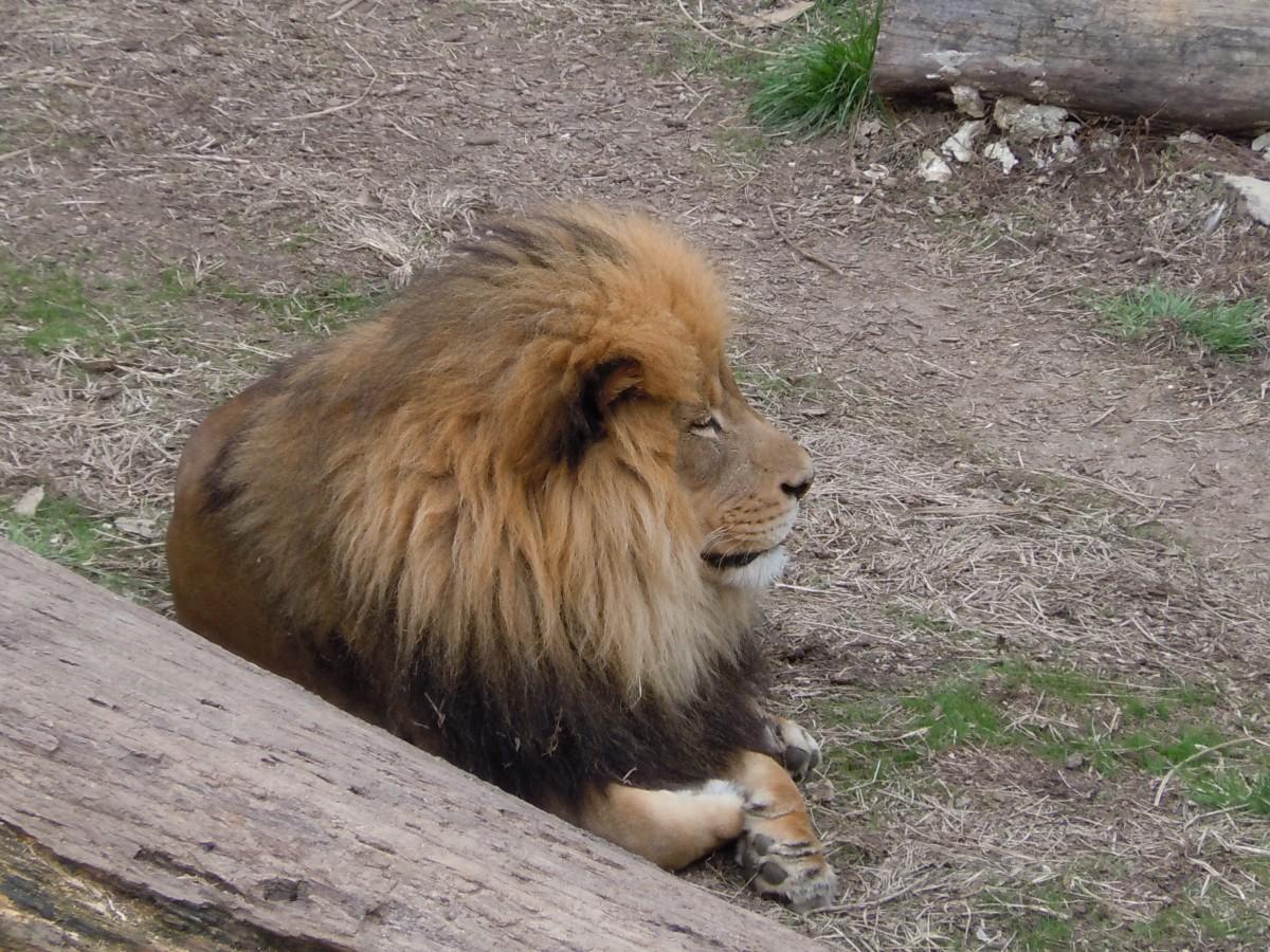 daddy lion mane