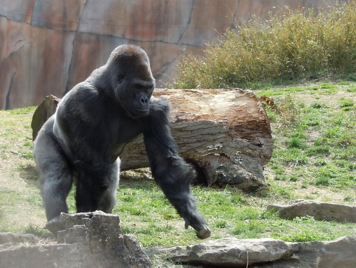 gorilla gimme that