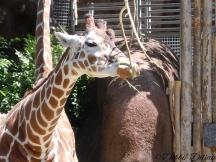 giraffe taking a bite