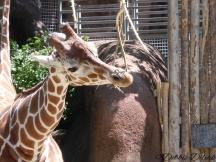 giraffe yum