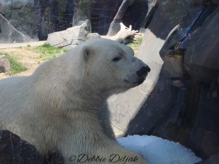 No visit to the zoo is complete without seeing a polar bear!