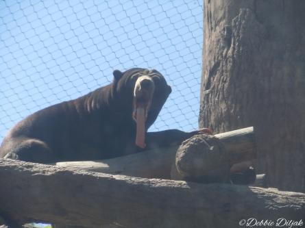 Malayan sun bear, mid-yawn.