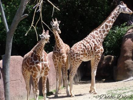 we three giraffes