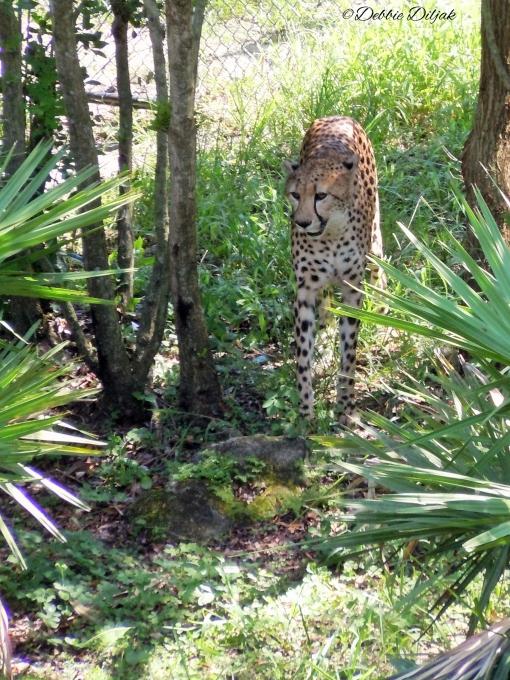 cheetah comin