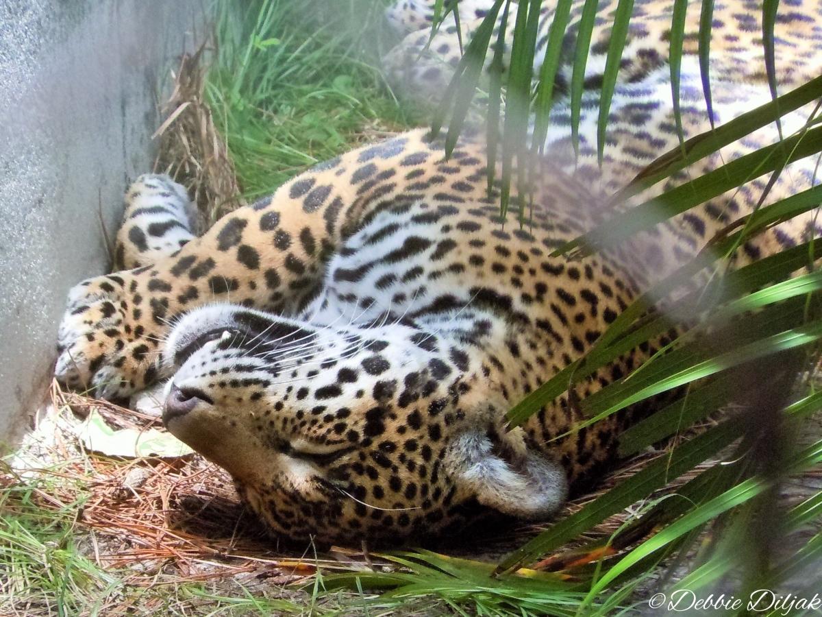 jaguar nap
