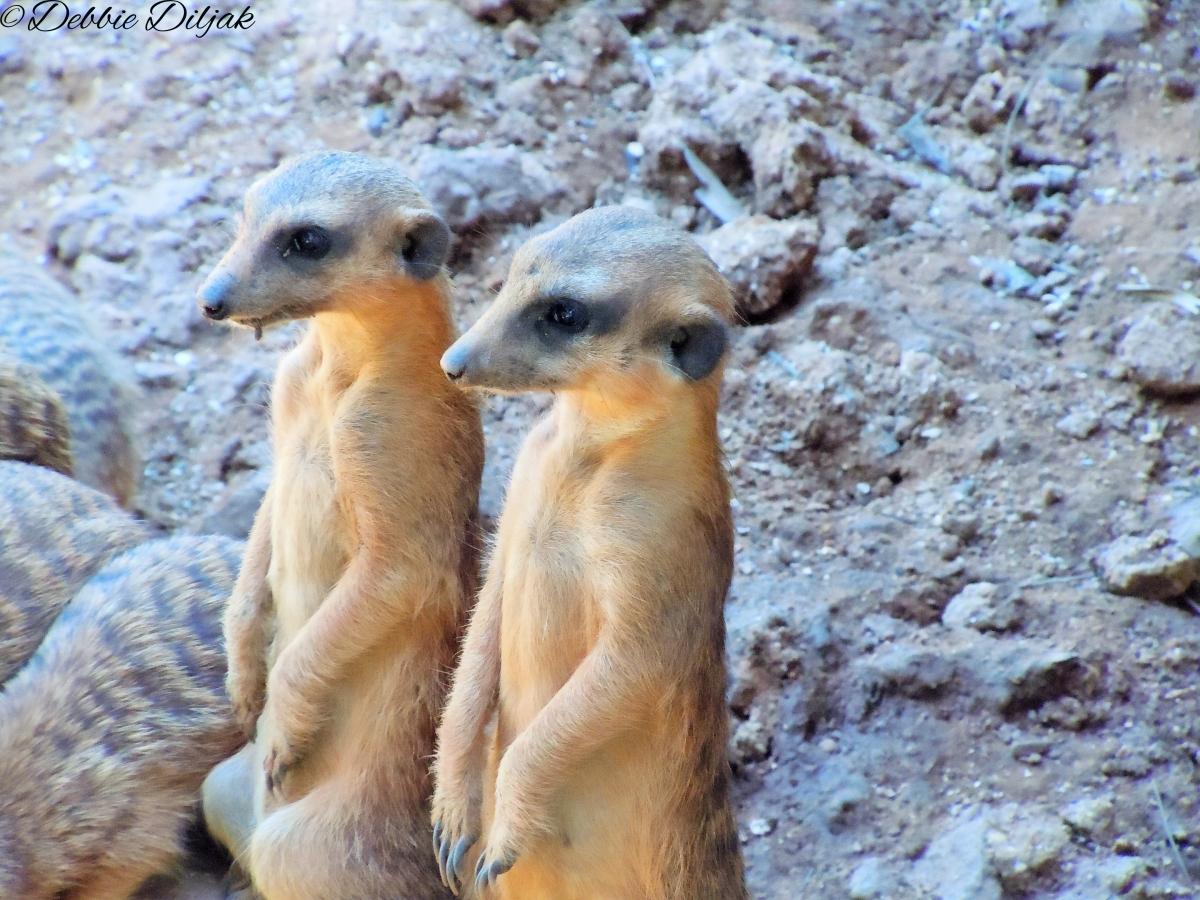 Mama meerkat other