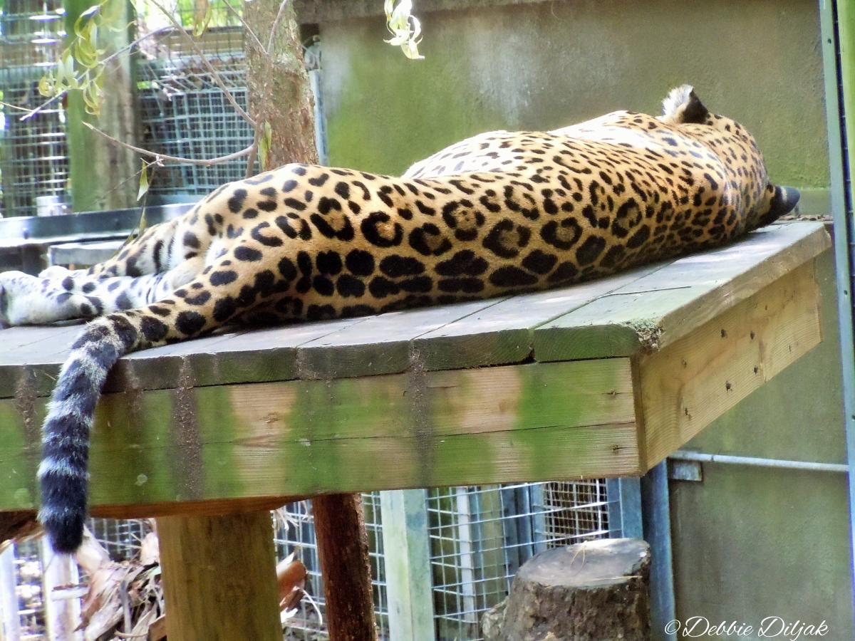 sleepin jaguar(1)
