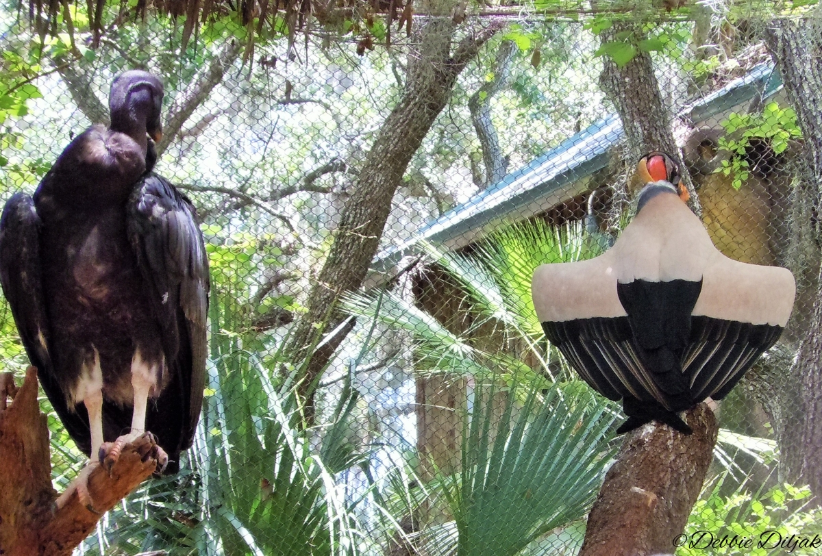 king vulture coolin