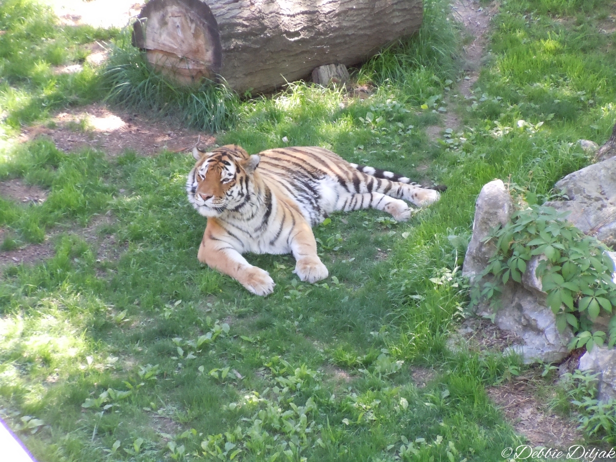 WMst. louis tiger