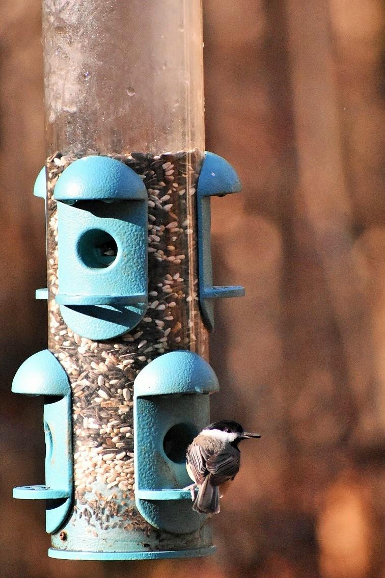 chickadee-got-seed