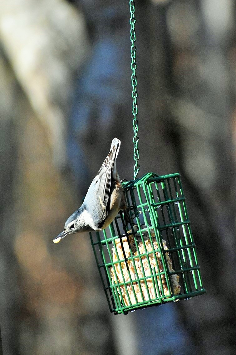 nuthatch-mouthfull