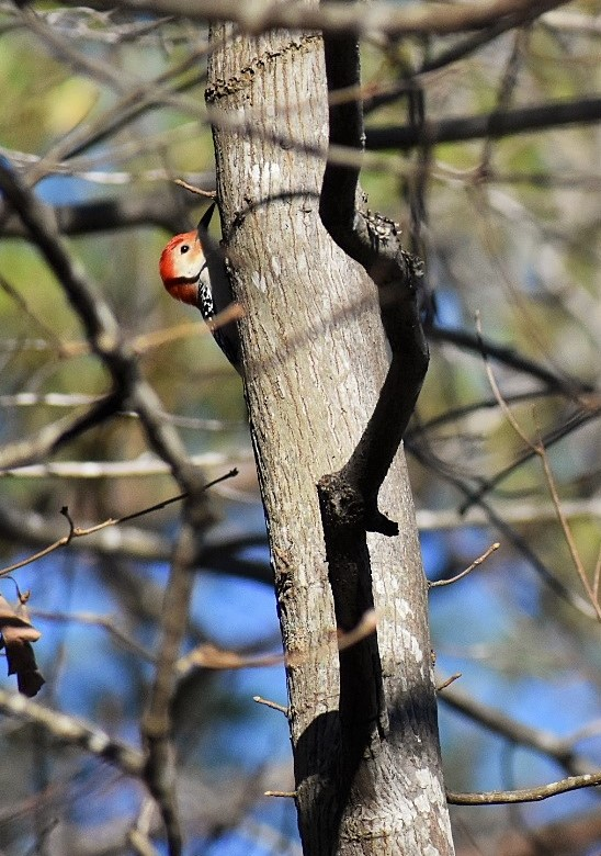 red-bellied-peekaboo