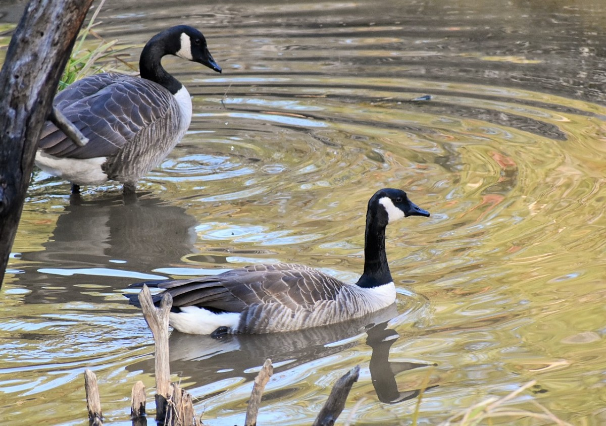 two-geese