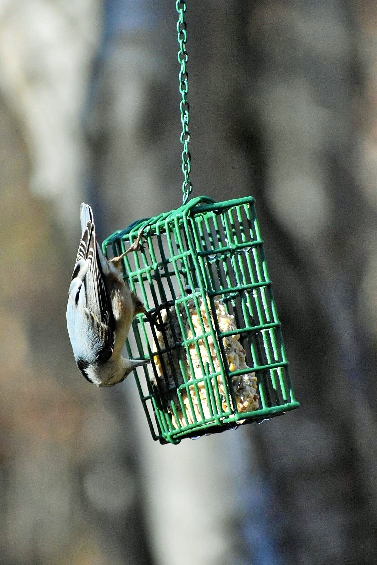 upside-down-nuthatch