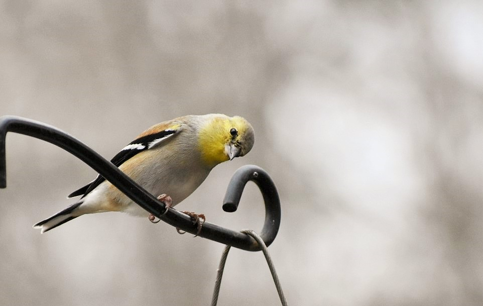 curious-goldfinch