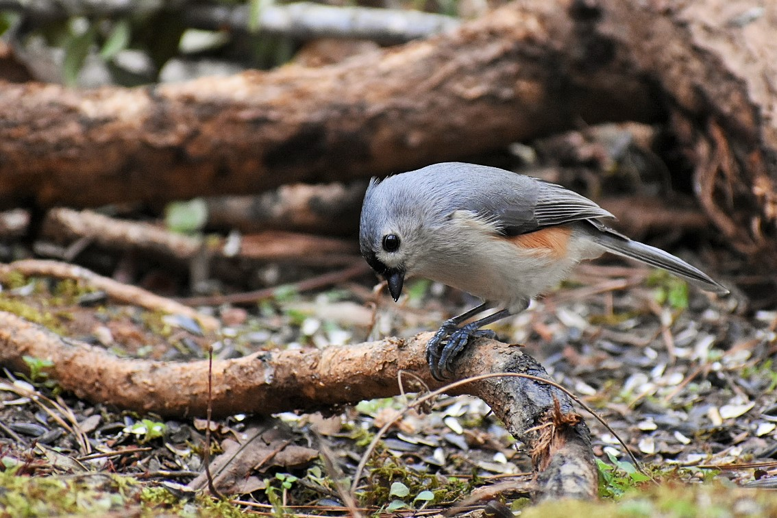 cute-titmouse