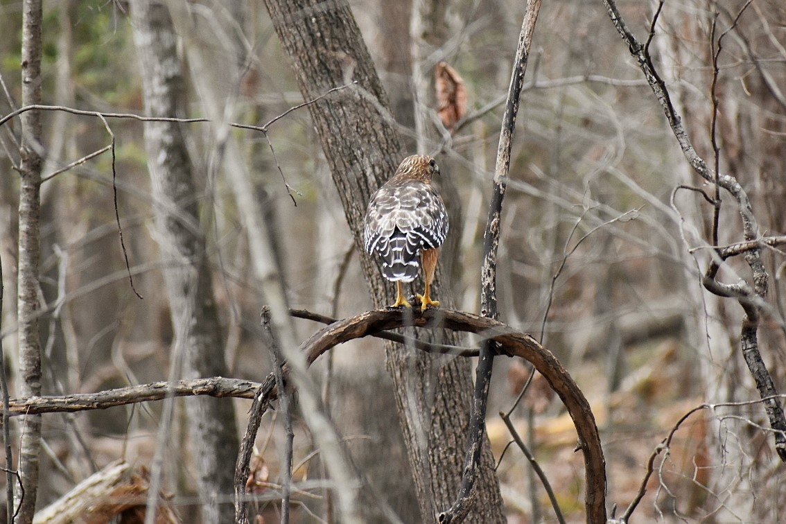 red-shouldered-hawk-one