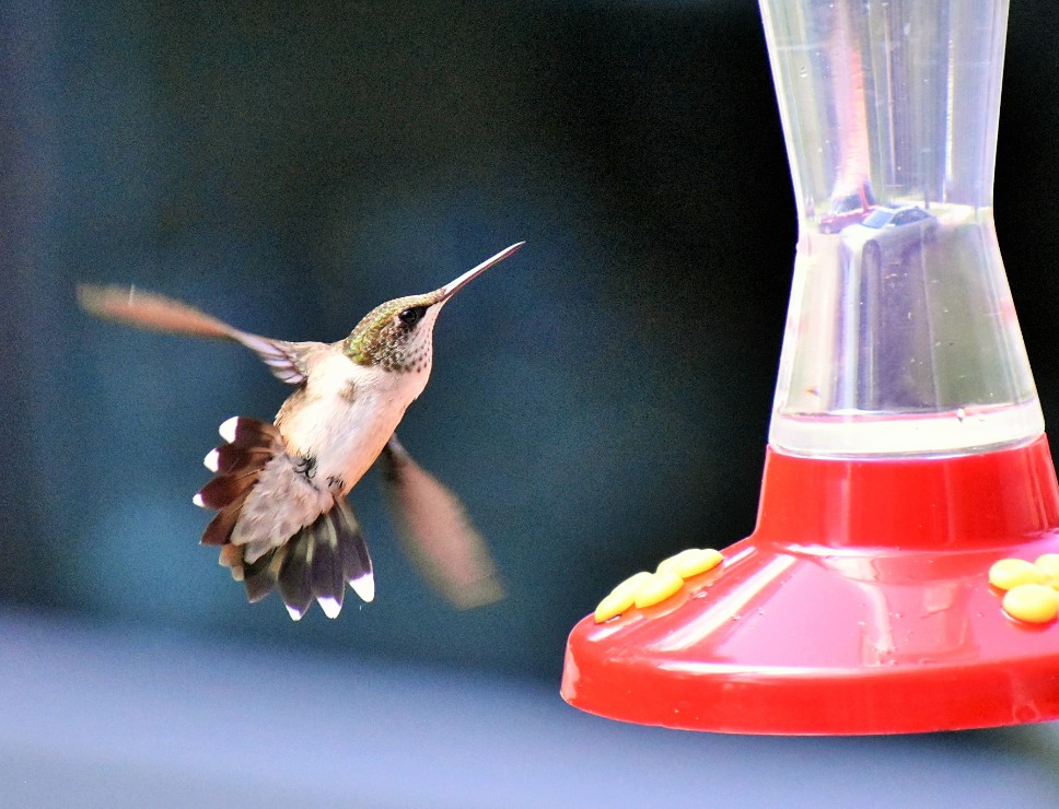 hummer tail