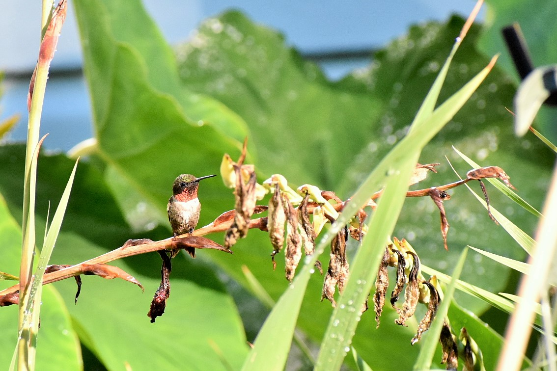little male hummer