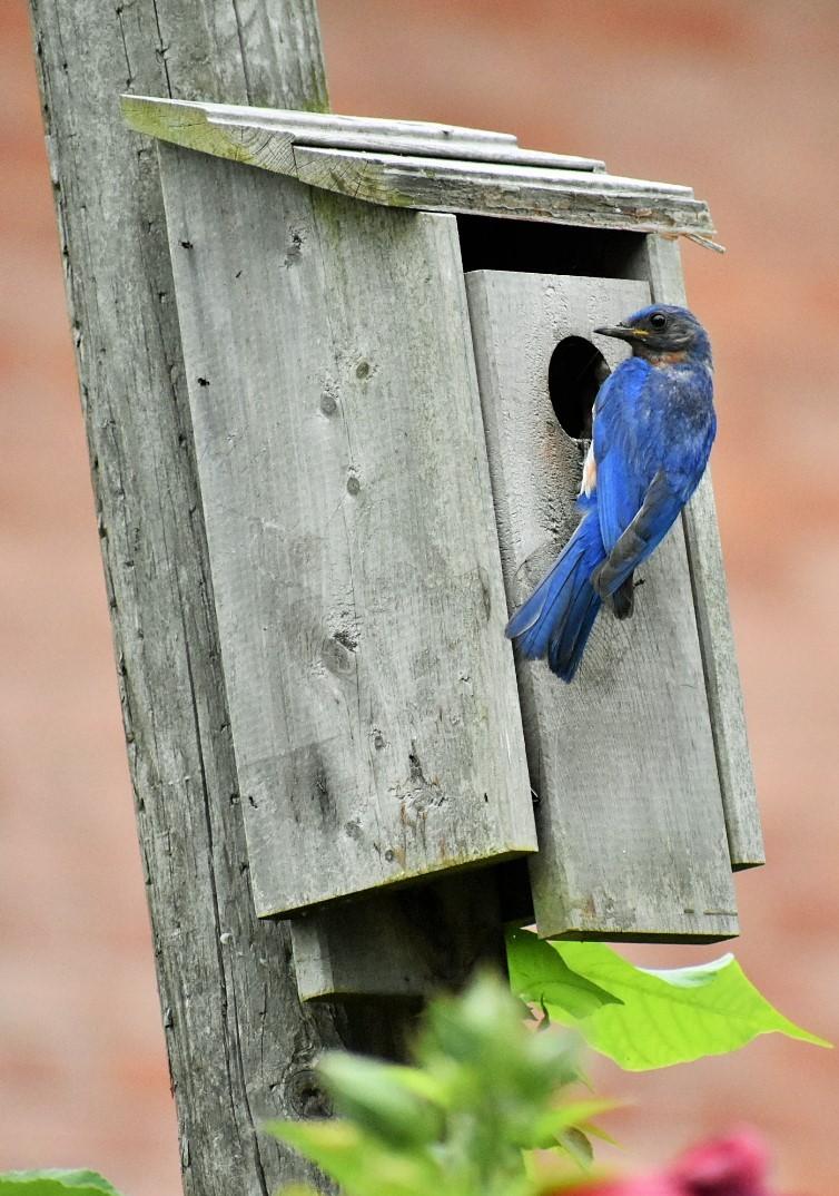 bluebird helper