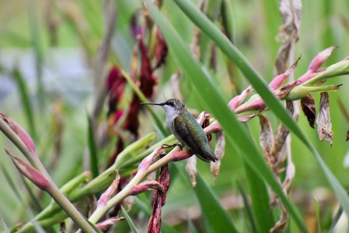 female hummer