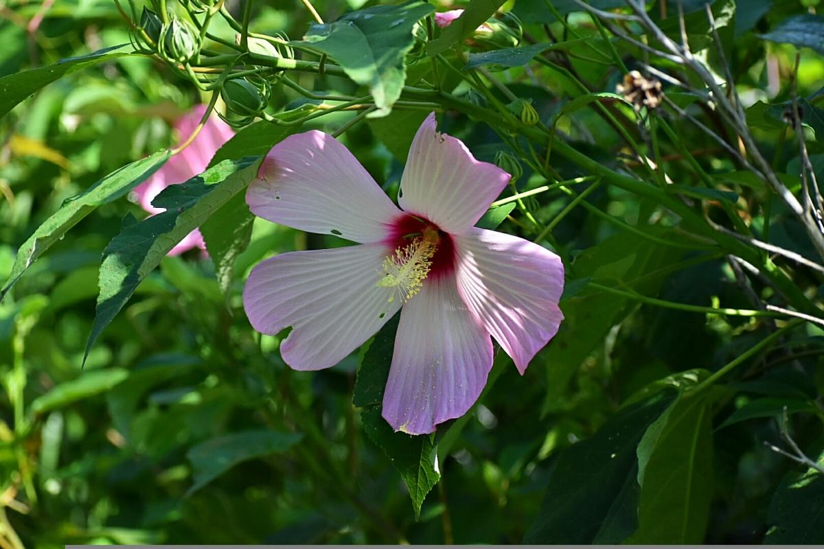 hibiscus shrub