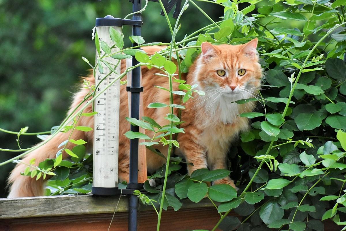 tiger in wisteria